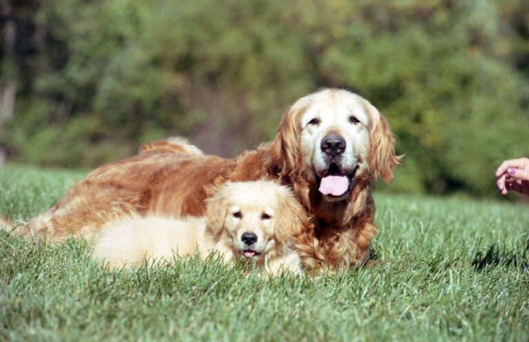 Perro golden viejo con cachorro golden